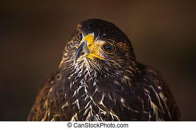Parabuteo glanze - Harris Hawk or Parabuteo unicinctus, a ...