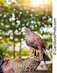 Parabuteo unicinctus - harris hawk in an animal center with ...
