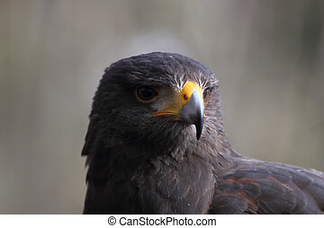 Parabuteo unicinctus head - Harris Hawk Parabuteo unicintus ...