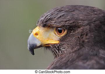 Parabuteo unicinctus head - Harris's hawk, Parabuteo ...