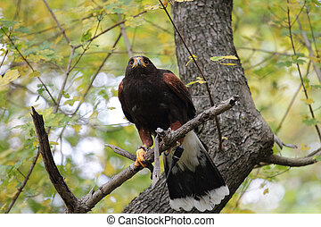 Parabuteo unicinctus on a tree - Harris's hawk, Parabuteo ...