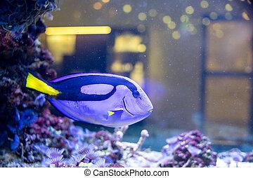 Paracanthurus hepatus marine fish. surgeon fish in aquarium...