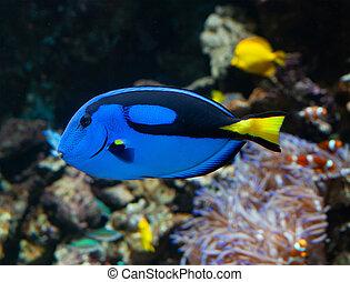 Paracanthurus hepatus or Palette Surgeonfish - A popular ...