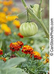 paradicsom, és, marigolds, (companion, planting)