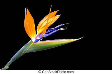 A wonderful strelitzia flower...