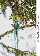 paradijsvogel, costa rica