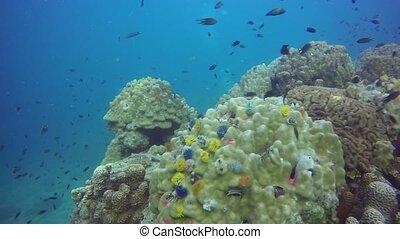 paradis, marin, extrême, coraux, école, arrière-plan., ...