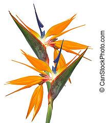 paradis, oiseau, strelitzia