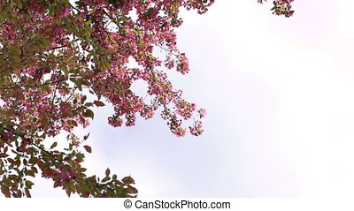 Paradise apple-tree's pink flowers blossom on sky background