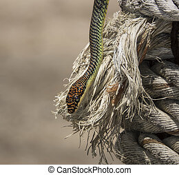paradise flying snake on a rope in Thailand