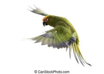 Paradise Gold Capped Conure, Aratinga Auricapilla, flying...