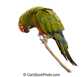 Paradise Gold Capped Conure - Paradise gold capped conure,...