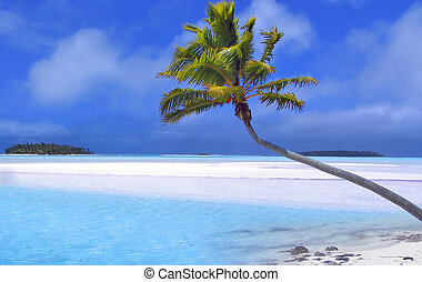 Paradise Palm - Cook Islands