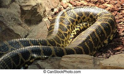 Paraguayan anaconda in motion, 4K video