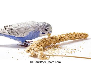 Blue parakeet eating millet