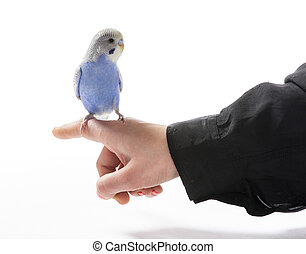 Blue parakeet sitting on a females hand