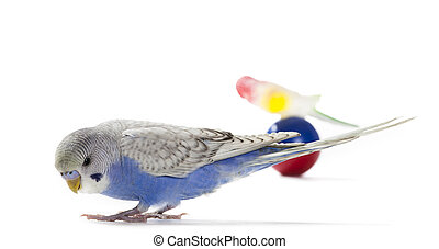Blue parakeet with toy