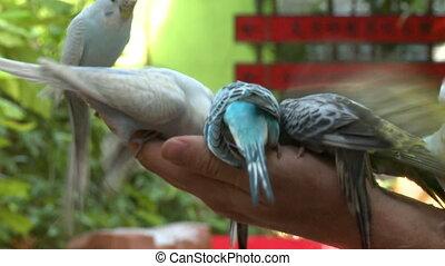parakeets, wieloraki, ręka, osoba