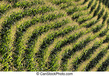 Parallel rows of corn ripening in the field