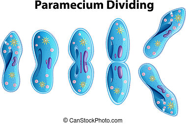 Paramecium Dividing bacteria diagram illustration