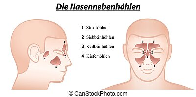 Paranasal Sinuses German Names - Paranasal sinuses -...