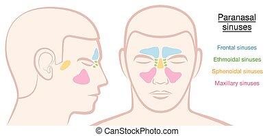 Paranasal Sinuses Male Face