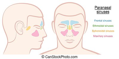 Paranasal Sinuses Male Face - Paranasal sinuses on a male...