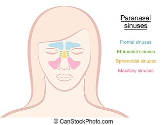 Paranasal Sinuses Woman - Paranasal sinuses on a womans face...