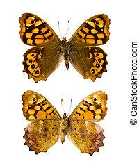 Pararge aegeria aegeria butterfly