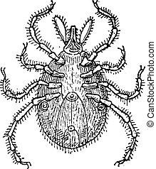 parasit, vinhøst, tikke, engraving.