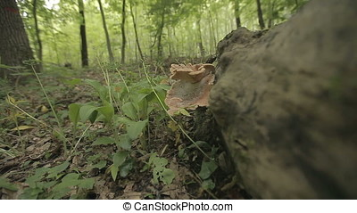 Parasite Mushroom on Trunk in Swamp at Sunset - Parasite...