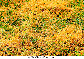 Parasitic Dodder Illinois Prairie