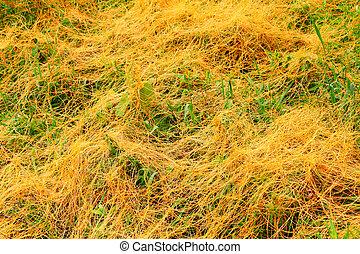 Parasitic Dodder Illinois Prairie