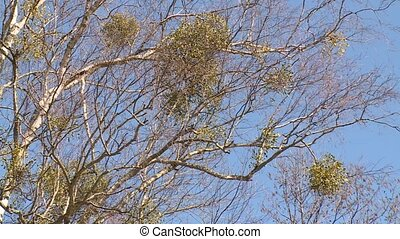Parasitic round plants grow on birch tree branches. Static...