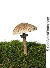 Parasol mushroom 05