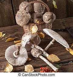 parasol mushroom (Macrolepiota procera)