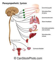 Parasympathetic pathways of the autonomic nervous system, eps10