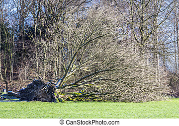 parc, déraciné, allemagne, arbre