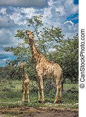 parc, national, namibie, etosha, girafes