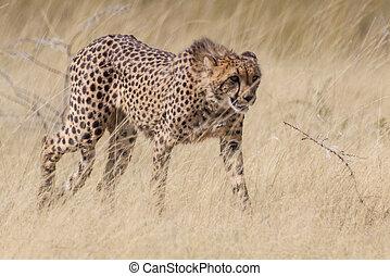 parc, national, namibie, etosha, guépard