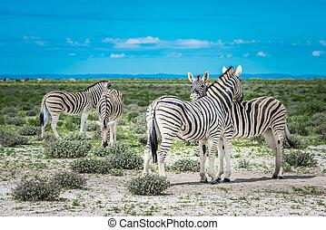 parc, national, namibie, zèbres, etosha