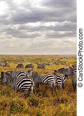 parc, national, serengeti., groupe, zèbres