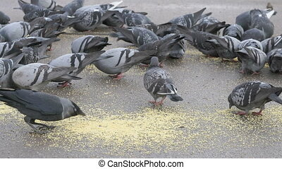 parc, pigeons, manger, troupeau, switchgrass