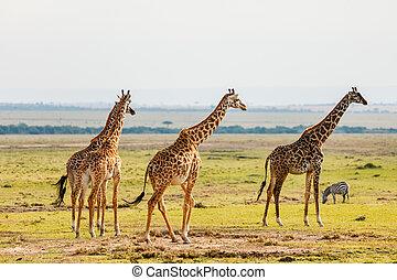 parc, safari, girafes