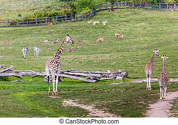 parc, safari, zoo, girafes