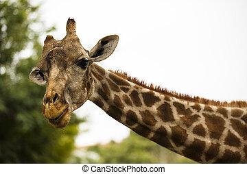 parc, vie sauvage, zebra, safari, zoo