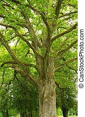 parc, vieil arbre