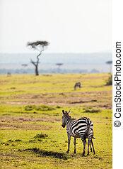 parc, zèbres, safari