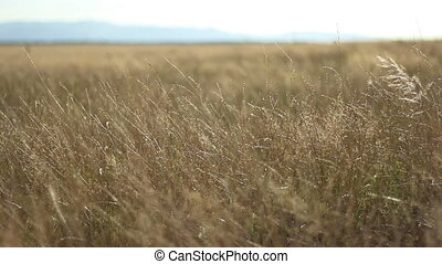 Parched Plain on Sunny Afternoon - Yellowed dryed grass...