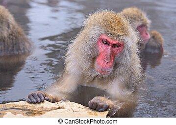 parco, scimmia neve